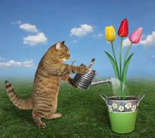 The Cat Gardener Waters Tulips In A Pot With An Iron Watering Can On The Meadow.