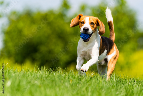 Fototapeta Beagle dog runs through green meadow towards camera. obraz