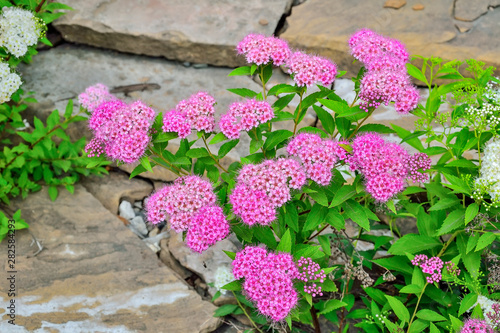 Fotografiet Japanese spirea (Spiraea japonica) bushes with delicate pink and white  flowers