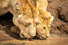 Close-up Of Lioness And Cub Drinking Water