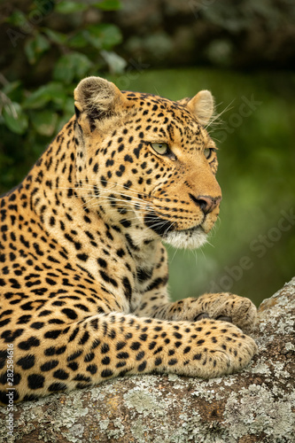 Foto op Aluminium Luipaard Close-up of leopard facing right on branch