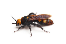 Female Of Mammoth Wasp, Megasc...