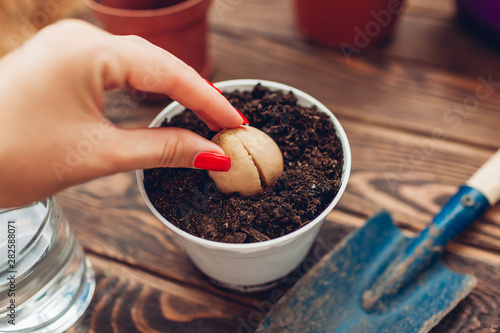 Leinwand Poster Woman gardener transplanting avocado seed with root growing in a pot with soil