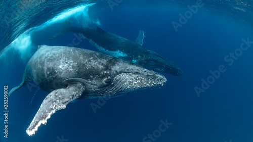 Fotomural  Humpback Whale Heat Run with 3 whales in Blue Water