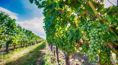 Tuinposter Wijngaard green vineyards landscape