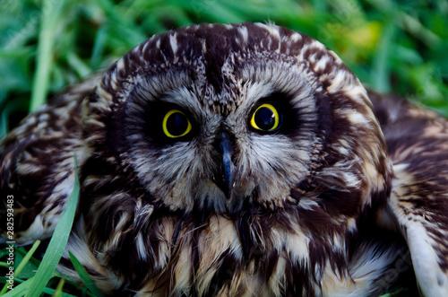 Photo sur Toile Croquis dessinés à la main des animaux Owl - a bird of prey with yellow eyes