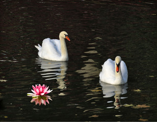 Fototapeta Egzotyczne image of two white swans in a summer park