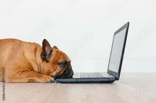 obraz PCV cute brown french bulldog working on laptop at home and feeling tired. Pets indoors, lifestyle and technology concept