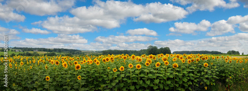 Panoramic view on sunflower field with cloudly sky