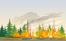 Burning Forest Spruces In Fire...