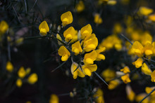 Close Up Of Flowering Gorse Bush In New Zealand