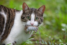 Cat With A Caught Mouse In Its Mouth.