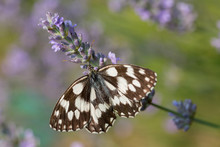 Close-up View Western Marbled White (melanargia Occitanica)