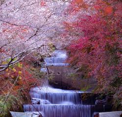 Fototapeta Wodospad sakura in autumn