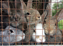 Several Adult Rabbits In A Cage With Metal Bars, Farming