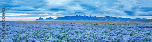 Obraz Banner for web-design: spectacular view on blooming fields of lupine flowers at mountain peaks background in Iceland during white nights, summertime. Amazing Icelandic panorama landscape in blue color - fototapety do salonu