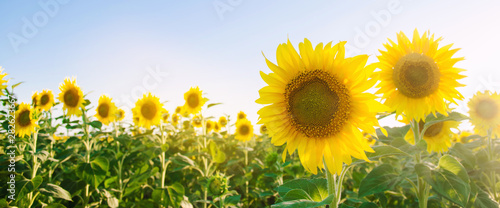 Poster Tournesol Beautiful young sunflower growing in a field at sunset. Agriculture and farming. Agricultural crops. Helianthus. Natural background. Yellow flower. Ukraine, Kherson region. Selective focus