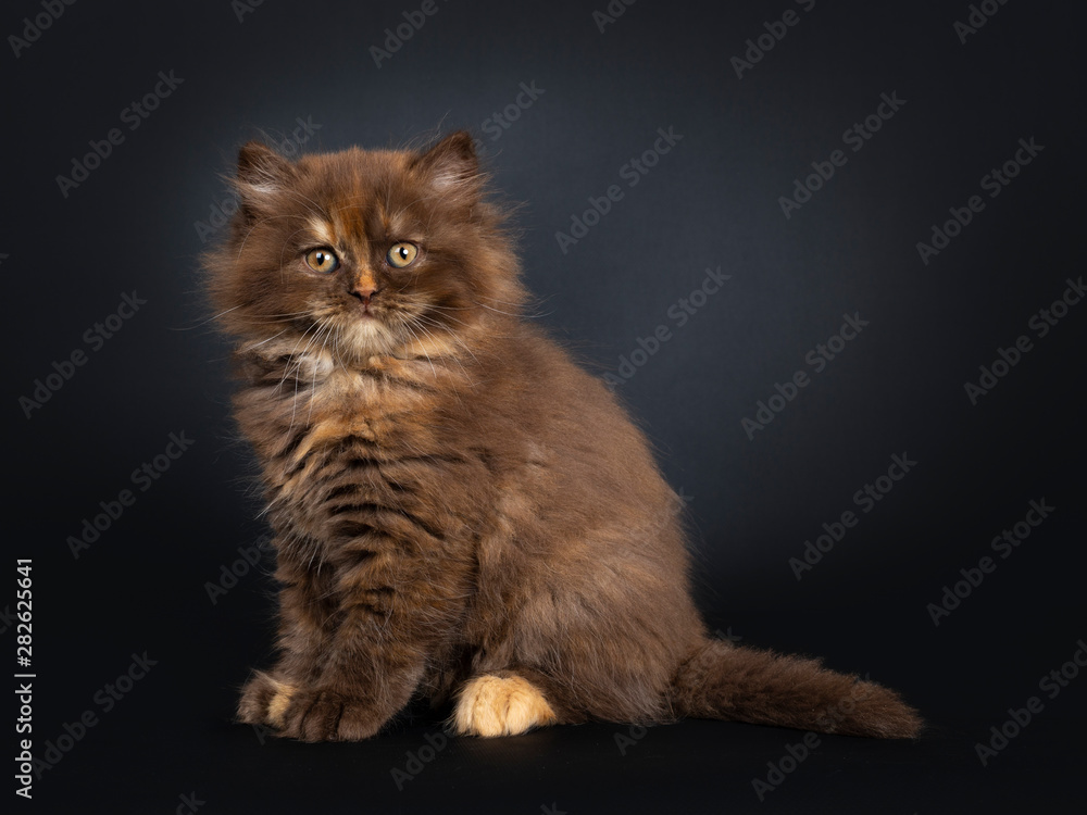 Fototapety, obrazy: Cute brown tortie British Longhair cat kitten, sitting side ways. Looking at camera with developping orange eyes. Isolated on black background.