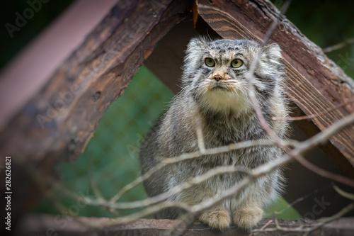 Fotografie, Tablou  The Pallas's cat (Otocolobus manul)