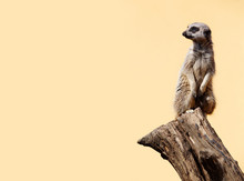 Cute Meerkat On The Lookout. Yellow Background With Space For Text.
