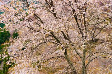 Fototapeta Japoński cherry blossom in japan