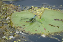 Eastern Pondhawk On Water Lily...