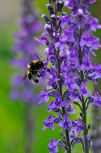Close Up Of A Female Common Carder Bumblebee Bombus Agrorum Feeding On A Salvia