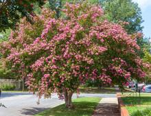 Pink Summer Crepe Myrtle Tree In Full Bloom In Residential Neighborhood.