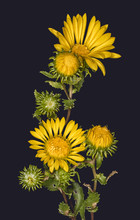 Closeup Of Gumweed (Grindelia Squarosa) With Blooms And Buds