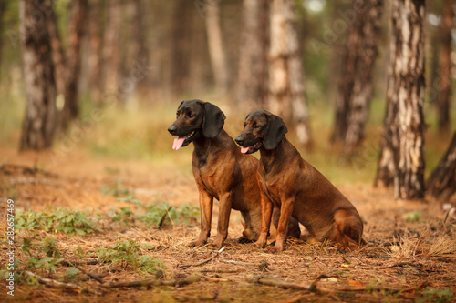 Poster de jardin Chasse two hunting dogs breed Bavarian mountain hound hunting in the woods