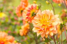 Autumn  -  Dahlia Flowers