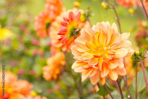 Autumn  -  Dahlia flowers Fotobehang