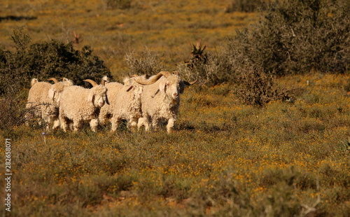 Healthy Angora goats walking in typical dry Karoo vegetation in South Africa Canvas Print