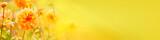 Fototapeta Kwiaty - Beautiful golden dahlia flowers  -  Autumn background, banner, panorama