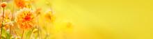 Beautiful Golden Dahlia Flowers  -  Autumn Background, Banner, Panorama