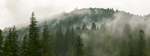 Coniferous Forest In Morning F...