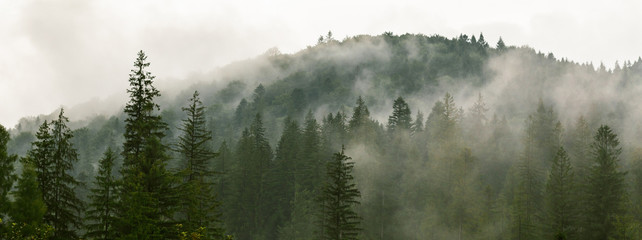 Coniferous forest in morning fog (mist), breathing mountains. Freshness and mystery.