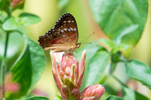 A Scarlet Peacock butterfly sitting atop a Shrimp Plant in a tropical garden