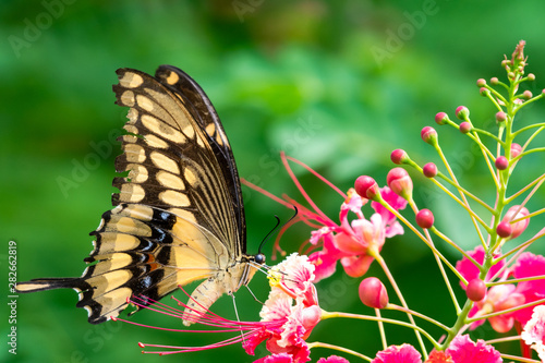 A Giant Swallowtail butterfly feeding on Pride of Barbados flowers