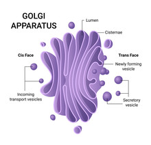 Illustration Of The Golgi Apparatus Structure. Vector Infographics.