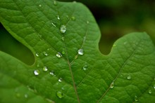 Close Up Of Water Droplets On A Large Leaf