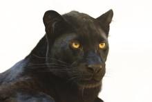 The Leopard (Panthera Pardus) ...
