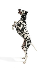 Studio Shot Of An Adorable Dalmatian Dog Standing On Hind Legs And Looking Curiously