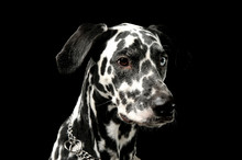 Portrait Of An Adorable Dalmatian Dog With Different Colored Eyes Looking Curiously