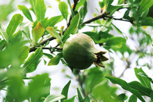 Young Green Pomegranate Grows On A Tree. Harvest Ripening, Ripening Pomegranate