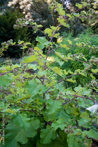 Fotografie, Tablou Medicinal plantation burdock. Arctium lappa