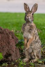 Funny Rabbit Looking Guilty In The Garden