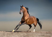 Bay Arabian Horse Running In D...
