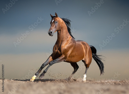 Poster Chevaux bay arabian horse running in desert