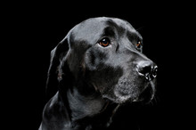 Portrait Of An Adorable Labrador Retriever Looking Curiously - Isolated On Black Background